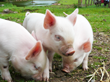 Image of piglets feeding